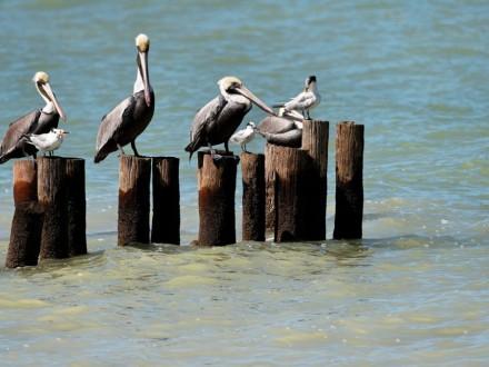 playa campeche pelicanos